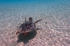 Wasserschildkröte | Malediven