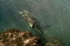 Wasserschildkröte | Hawaii
